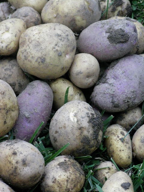 potatoes.6.30.09-005.jpg